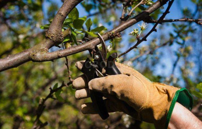 Весенняя обрезка взрослого куста черешни острым садовым секатором