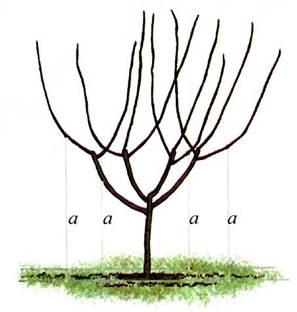Схема формирующей обрезки куста черешни по принципу вазы