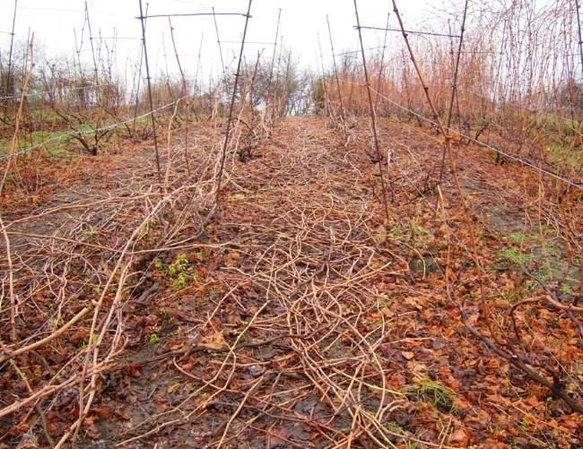 Осенняя обрезка винограда, растущего на двухплосткостных шпалерах