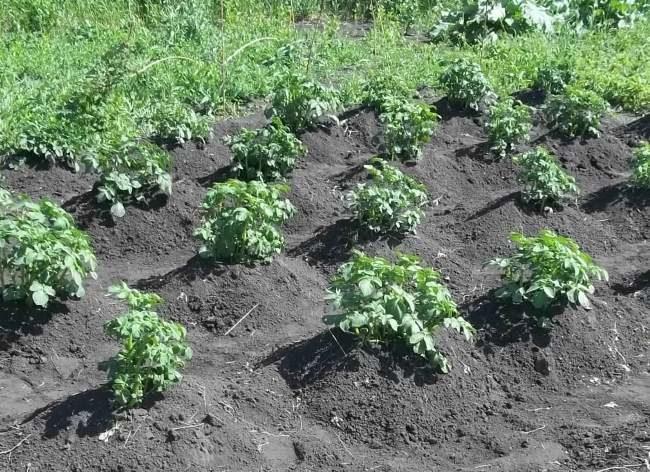 Правильно окученные кусты селекционной картошки Гала в начале лета
