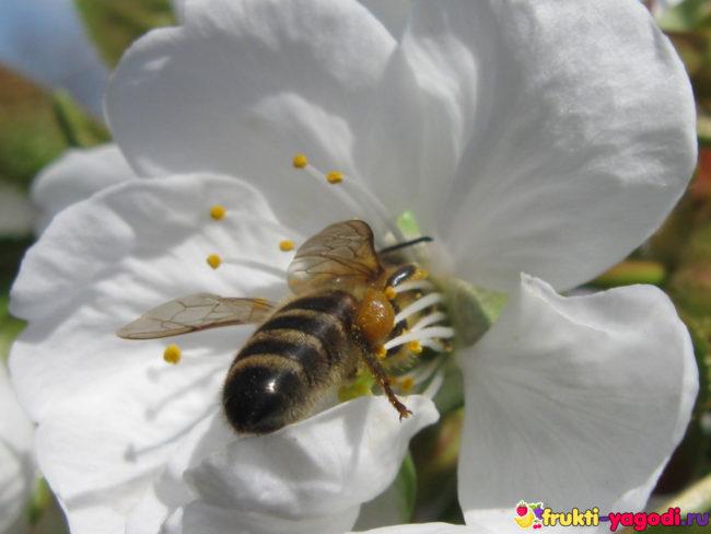 Пчела опыляет цветок черешни и ищет нектар