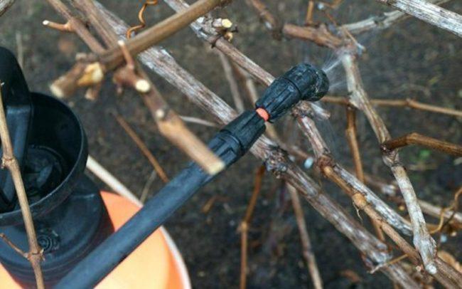 Обработка виноградной лозы ранней весной препаратом Строби из опрыскивателя