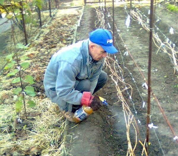 Осеннее опрыскивание виноградной лозы раствором железного купороса