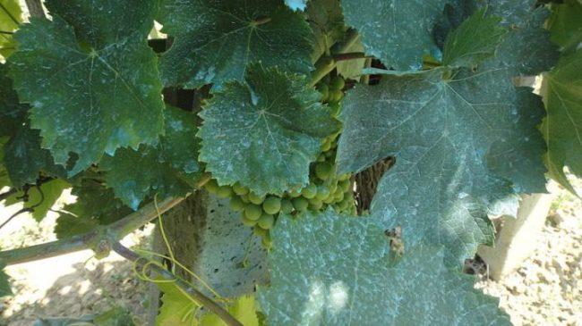 Темно-зеленые листья плодового винограда с синеватыми пятнами после обработки медным купоросом