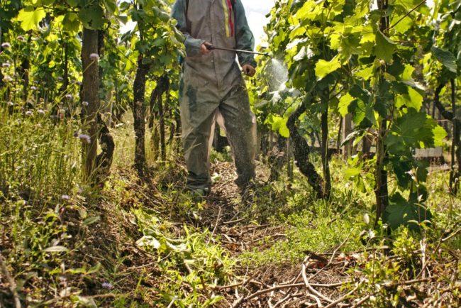 Опрыскивание промышленного виноградника из распылителя после сбора урожая