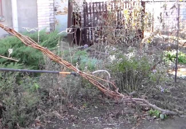 Осенняя обработка виноградной лозы, связанной в пучок для укрытия на зиму