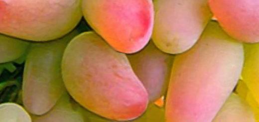 Виноград сорта Оригинал спелая гроздь