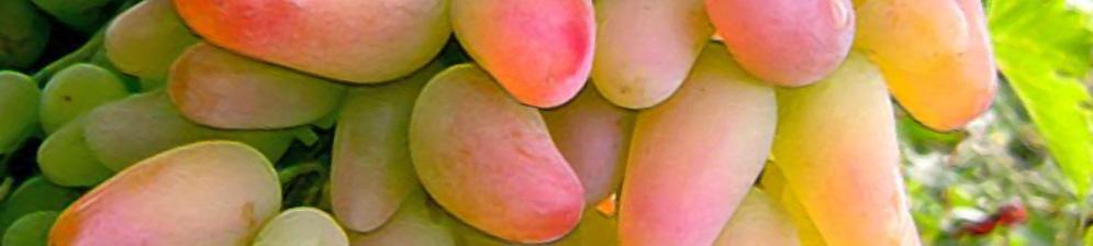 Виноград оригинал: описание сорта розовый, черный