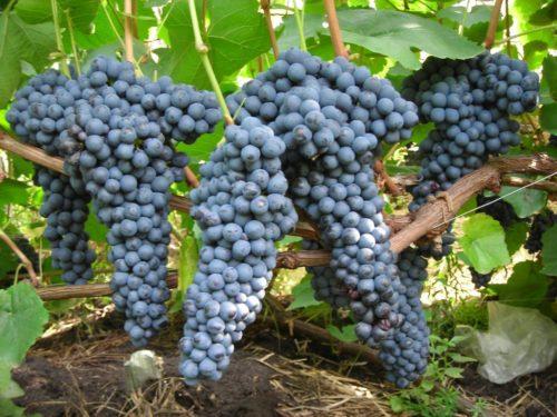 Кисти спелого винограда универсального сорта Памяти Домбковской