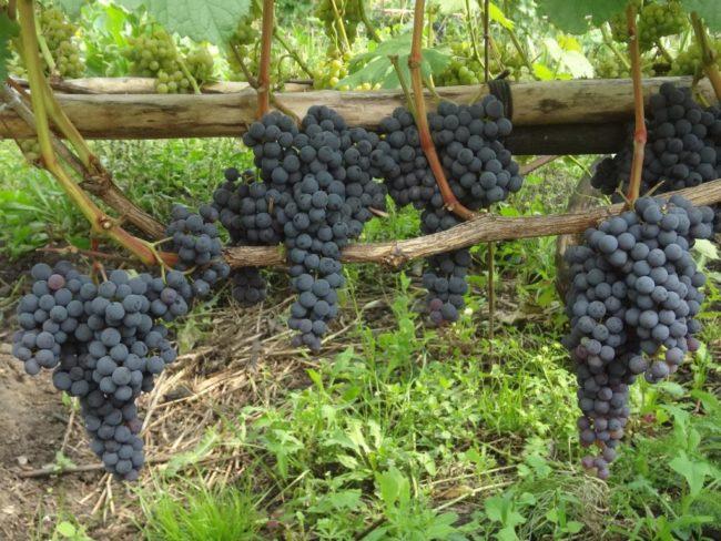 Кисти винограда гибридной формы Памяти Домбковской с плодами темно-синего окраса