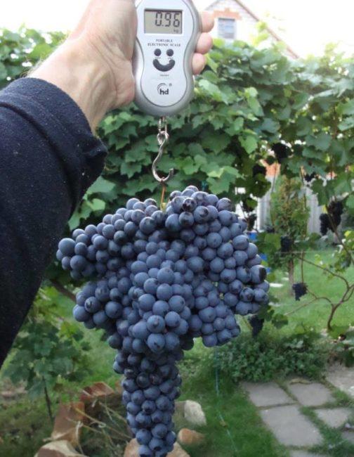 Вес крупной грозди винограда сорта Памяти Добковской селекции садовода Шатилова