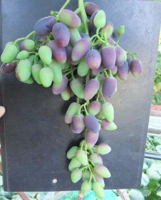 Длинная гроздь винограда сорта Памяти Дженеева в начале стадии окрашивания ягод
