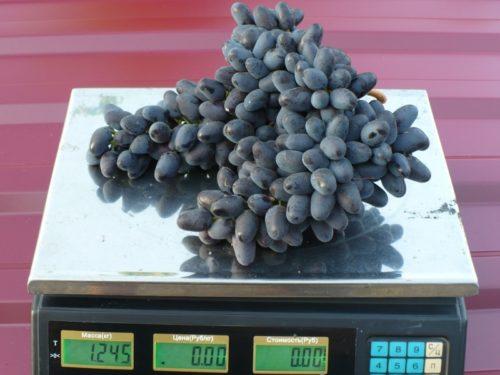 Крупная объемная гроздь винограда Памяти Дженеева на весах