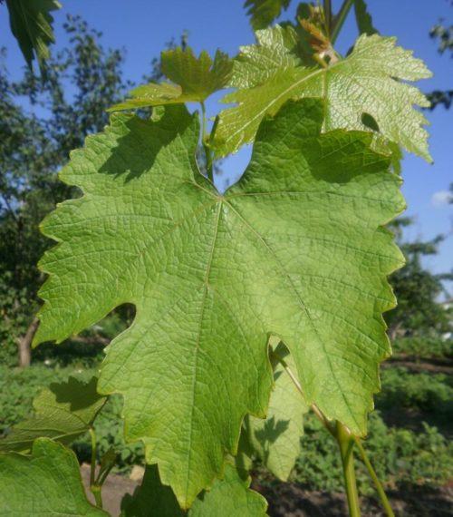Светло-зеленый лист винограда гибридного сорта памяти Дженеева
