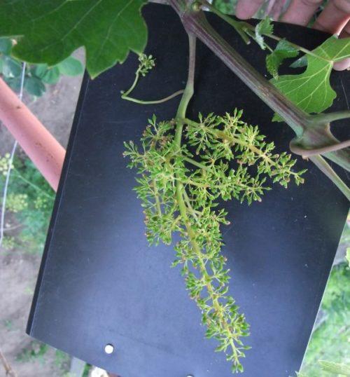 Соцветие винограда гибридной формы Памяти Дженеева на темном фоне