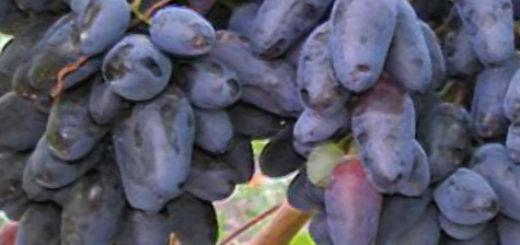 Спелые плоды винограда Памяти Дженеева