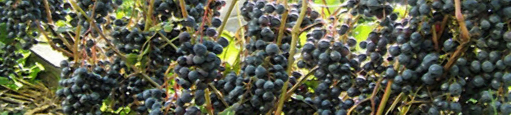 Спелые плоды винограда сорта памяти Домбковской на кисти