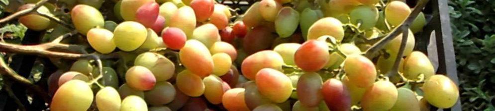 Спелые плоды винограда сорта Парижанка