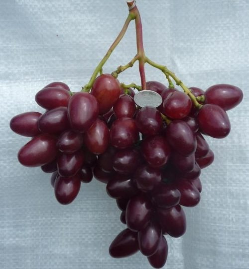 Кисть винограда столового сорта Парижанка с ягодами темно-красного цвета