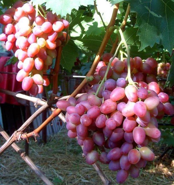 Грозди столового винограда сорта Парижанка с вытянутыми ягодами розово-красного оттенка