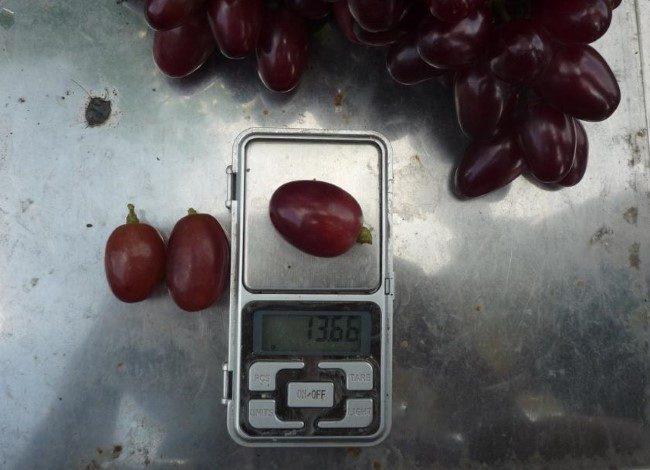 Крупная ягода винограда гибридной формы Парижанка на карманных весах