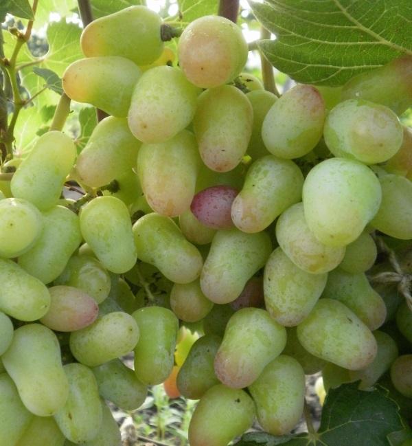 Гроздь винограда сорта Парижанка в начальной стадии окрашивания плодов