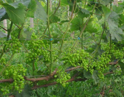 Кисточки завязей на кусту винограда столового сорта Парижанка