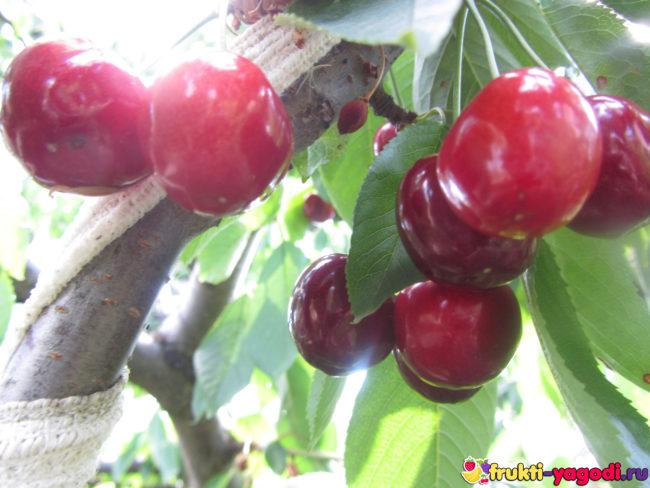 Созревающие плоды черешни Дайбера на кусте