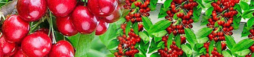 Плоды колоновидной черешни и куст
