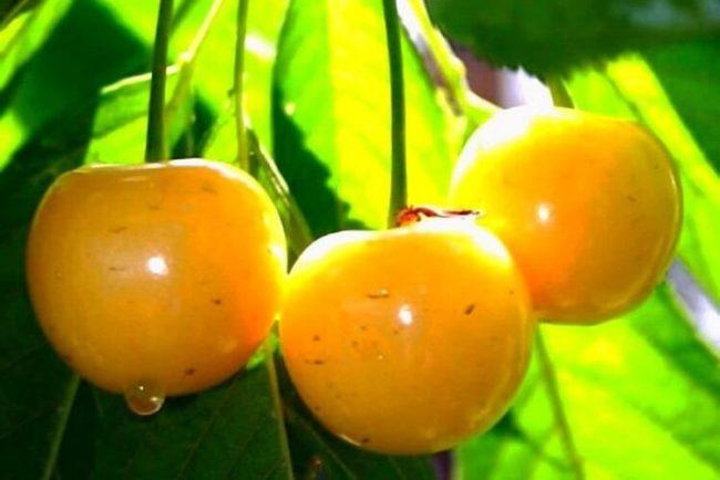 Три спелых ягоды черешни сорта Дрогана Желтая от немецких селекционеров