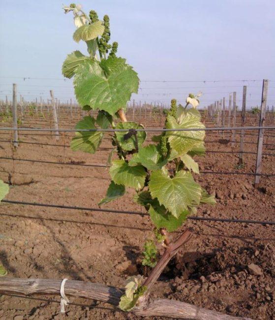 Фото плодоносного побега винограда, растущего из замещающей почки
