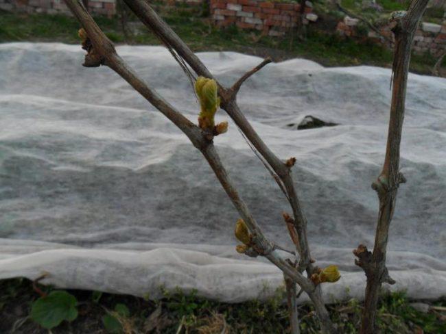 Ветки винограда с распускающимися листочками на фоне белого укрывного материала