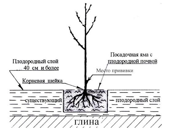 Схема устройства посадочной ямы для черешни и правильное расположение саженца