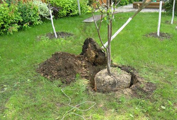 Пересадка взрослого деревца черешни ранней весной на новое место