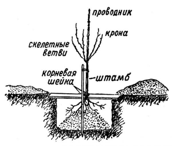 Схема весенней посадки саженца черешни в стандартную яму