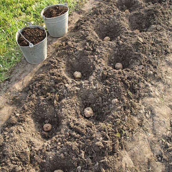 Картошка сорта Гала в лунках, выкопанных через полметра, и два ведра с перегноем