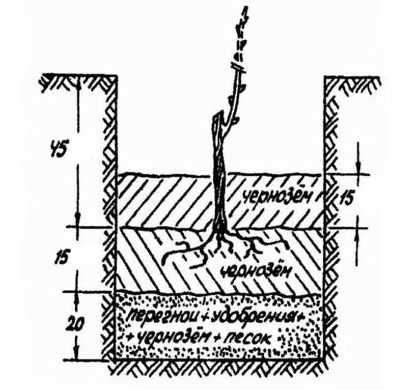 Схема устройства посадочной ямы для саженца столового винограда
