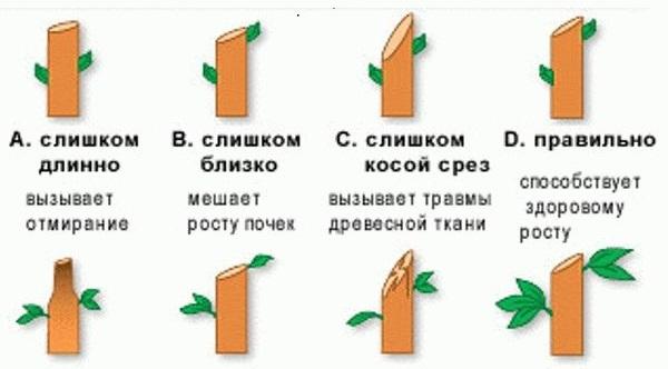 Схема распространенных ошибок при проведении формирующей обрезки черешни