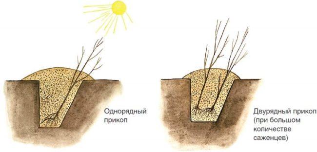 Схема однорядного и двухрядного прикопа саженцев черешни на зимний период