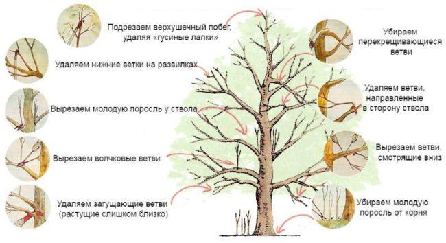 Способы формирования кроны взрослого куста черешни в картинках