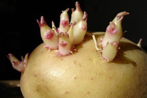 Крупная картофелина с пророщенными ростками
