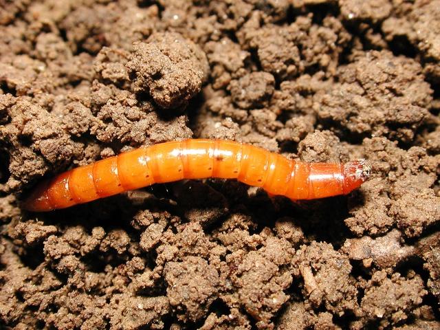 Личинка проволочника светло-коричневого окраса на поверхности земли