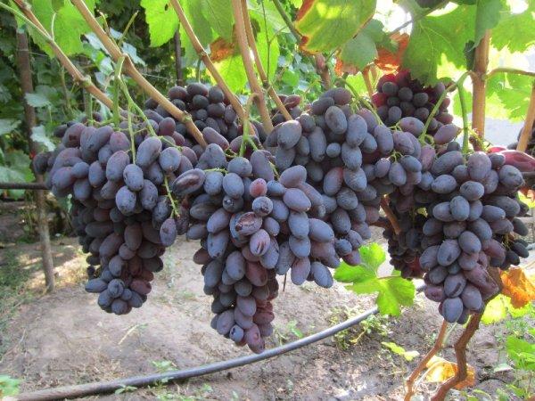 Виноградная лоза гибридного сорта Ромео под нормированной нагрузкой