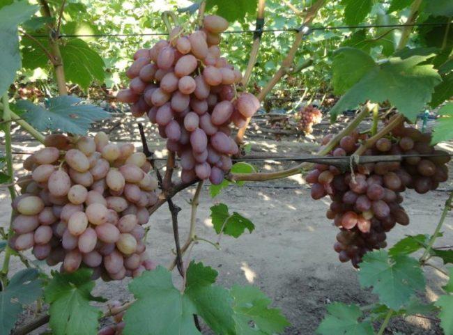 Три кисти винограда сорта Румба с розово-фиолетовыми плодами вытянутой формы