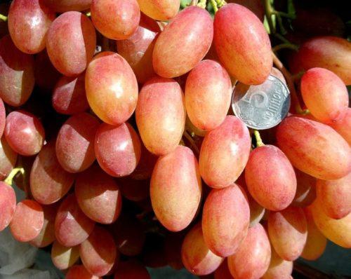 Внешний вид и размеры плодов столового винограда сорта Румба