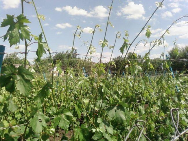 Молодые побеги винограда с зелеными листьями на шпалере под ярким солнцем