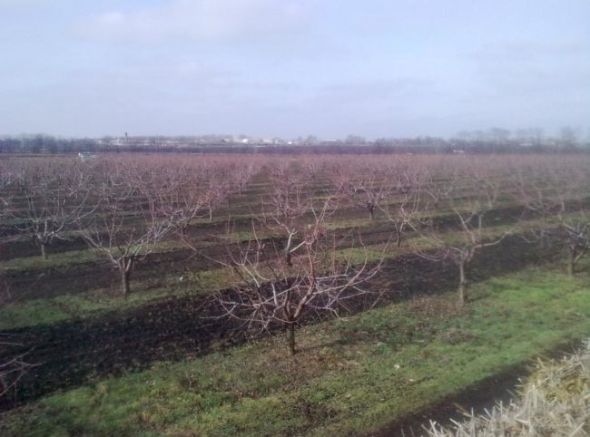 Кусты сортовой черешни в промышленном питомнике ранней весной