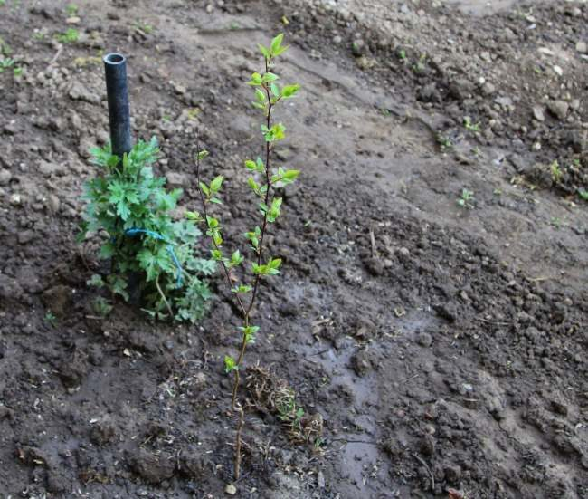 Саженец черешни после высадки в открытый грунт на садовом участке