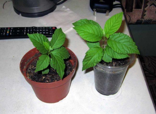 Два пластиковых горшка с молодыми сеянцами черешни, выращенные в домашних условиях