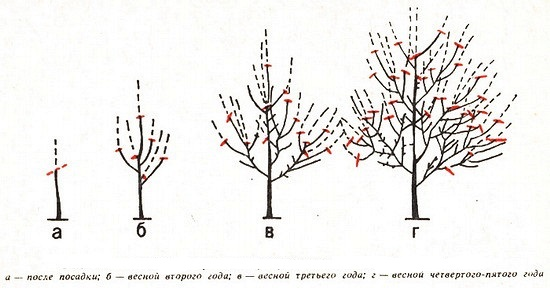 Схема обрезки кроны черешни в течении первых четырех лет жизни растения